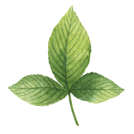 Hand drawn watercolor botanical illustration of a green leaf raspberry.