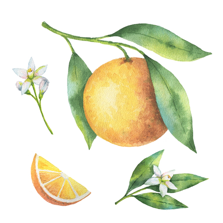 Filiale dell'arancia della frutta dell'acquerello isolata su fondo bianco.