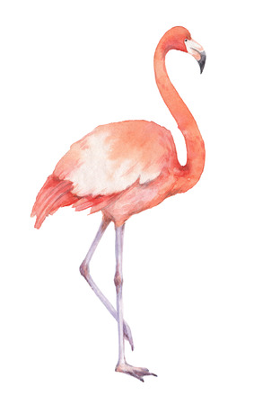 Watercolor of pink flamingos isolated on a white background.
