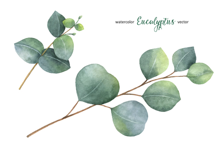 水彩ベクトル手描きのユーカリの葉と枝をセット。花のイラストは、白い背景で隔離。