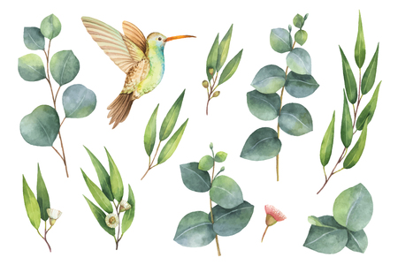 Watercolor vector hand painted set with eucalyptus leaves and Hummingbird. 矢量图像