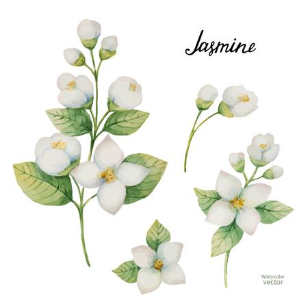 Conjunto de vector acuarela de flores y ramas jazmín aislado en un fondo blanco.