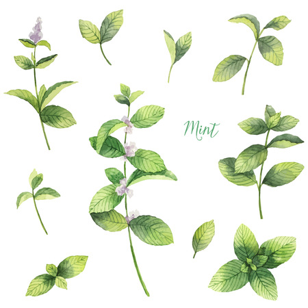 Watercolor vector set of mint branches isolated on white background.