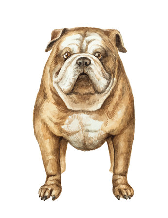 stocky: Watercolor English bulldog isolated on white background.