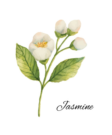 Watercolor Jasmine isolated on a white background. Иллюстрация