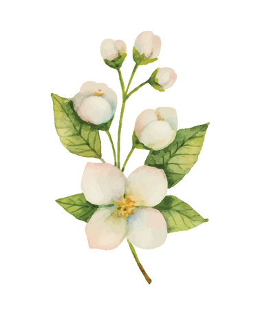Watercolor Jasmine isolated on a white background. Illustration