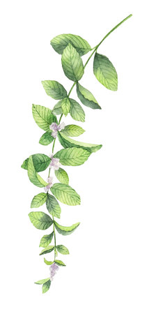 Watercolor vector wreath of mint branches isolated on white background.