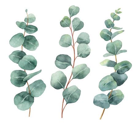 Vettore dipinto a mano dell'acquerello impostato con foglie e rami di eucalipto. Illustrazione floreale isolato su sfondo bianco.