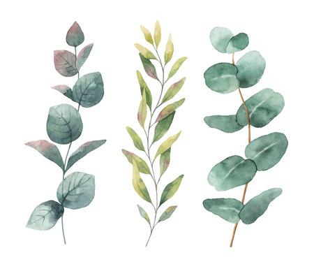 수채화 손으로 그린 유칼립투스 잎과 나뭇 가지 벡터 설정. 꽃 그림 흰색 배경에 고립입니다. 일러스트