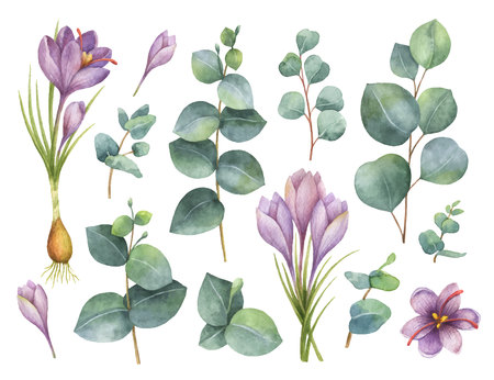 Watercolor vector hand painted set with eucalyptus leaves and purple flowers of saffron.