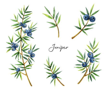 Watercolor set plants juniper isolated on white background.