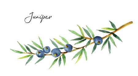 Watercolor plants juniper isolated on white background.