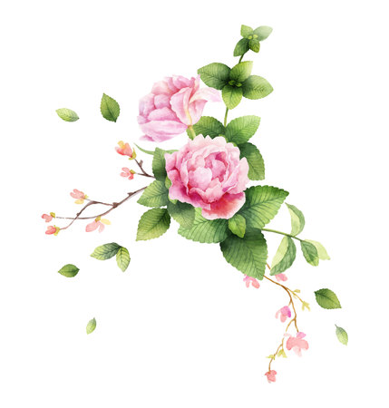 Watercolor vector hand painting illustration of peony flowers and green mint leaves. Spring or summer flowers for invitation, wedding or greeting cards.