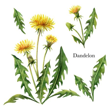 Hand drawn watercolor vector botanical illustration of Dandelion. Healing Herbs for design of invitation, creative artistic background, template design element. Floral bouquet decoration.