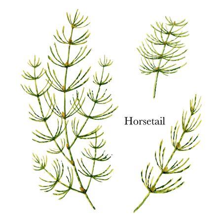 Dibujado a mano acuarela botánica de cola de caballo Ilustración de vector