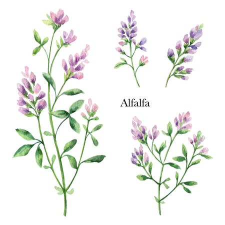 Hand drawn watercolor vector botanical illustration of Alfalfa. Healing Herbs for design of invitation, creative artistic background, template design element. Floral bouquet decoration.
