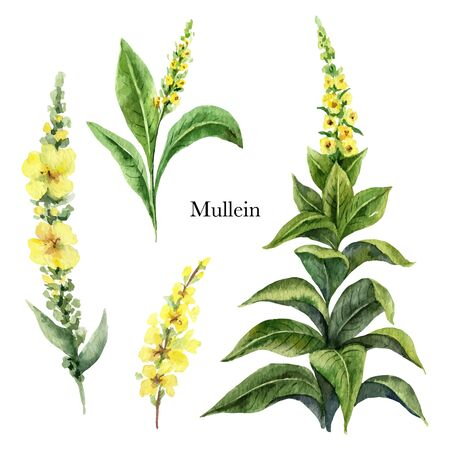 Hand drawn watercolor vector botanical illustration of Mullein. Healing Herbs for design of invitation, creative artistic background, template design element. Floral bouquet decoration.