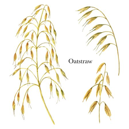 Hand drawn watercolor vector botanical illustration of Oat straw . Healing Herbs for design of invitation, creative artistic background, template design element. Floral bouquet decoration.