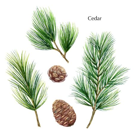 Christmas vector set with green pine branches and cones isolated on white background. Illustration for greeting cards, banners, invitations, calendars. Иллюстрация