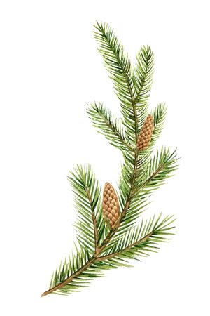 Watercolor vector green spruce branch with cones, Christmas tree. Illustration for greeting cards and invitations isolated on white background. Иллюстрация