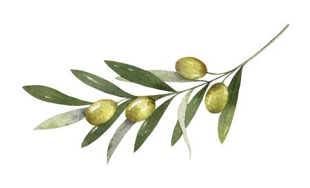 Watercolor  olive branch with leaves and fruits.