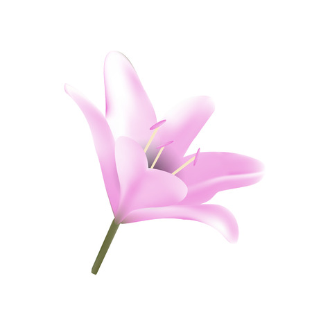 Pink lily. Vector illustration Beautiful flowers bloom