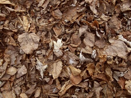 Dry leaves background. Autumn undergrowth. Brown foliage.