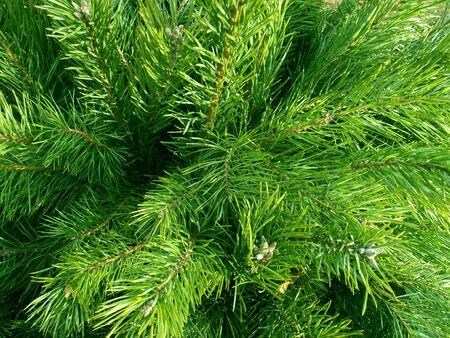Green fir. Christmas tree background. New year forest. 版權商用圖片