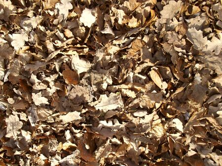Dry yellow leaves background. Autumn undergrowth. Brown foliage.