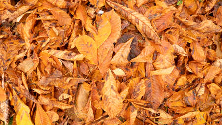 Autumn photo with chestnut fallen leaves. Golden,red, dry, orange, yellow leaves on the ground. 版權商用圖片