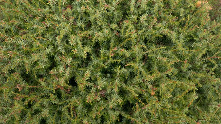 Thuja green background. Decoration outdoor plant in the park, yard and backyard.
