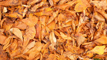 Autumn photo with fallen leaves. Golden,red, dry, orange, yellow chestnut leaves on the ground. 版權商用圖片