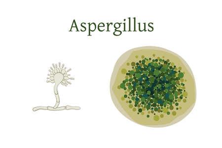 Aspergillus mold vector illustration isolated on white background.