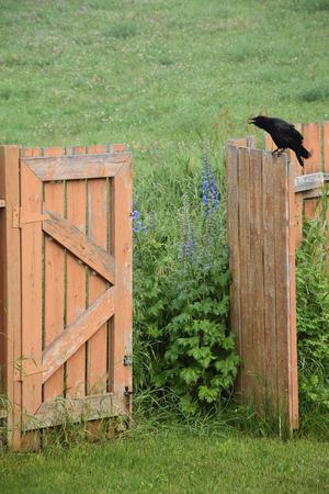Crow sitting on garden gate Stock fotó
