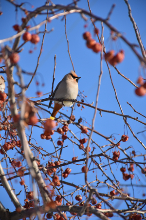 Waxwing on a branch Stock fotó