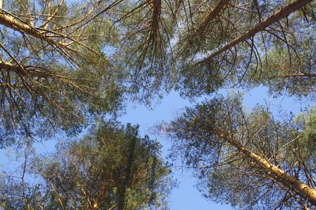 seen: sky seen through pine branches
