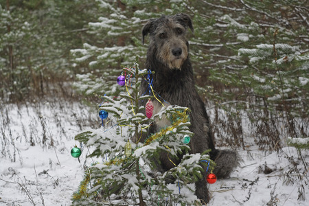 irish christmas: dog near the Christmas tree