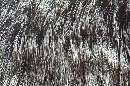 silver fox: fur of silver fox closeup