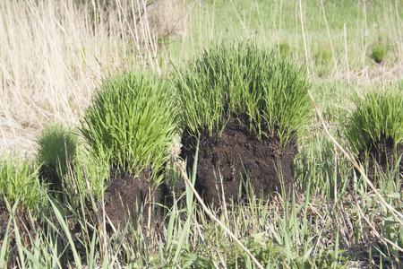 brunt: new green grass on brunt mounds