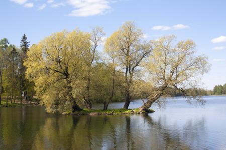linden tree: linden tree on a tiny island