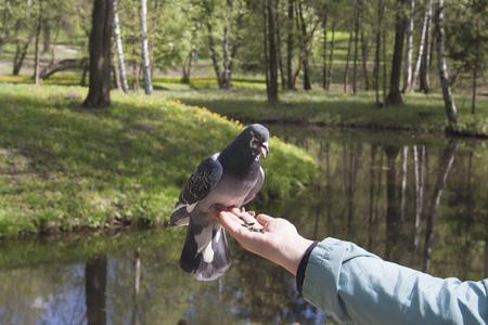 beak doves: Feeding pigeons in the palm