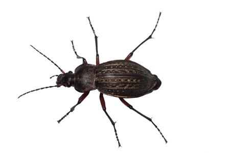 ground beetle: Ground beetle (Carabus granulatus) isolated on white background