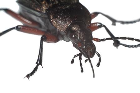 ground beetle: Ground beetle (Carabus granulatus) extreme closeup isolated on white background