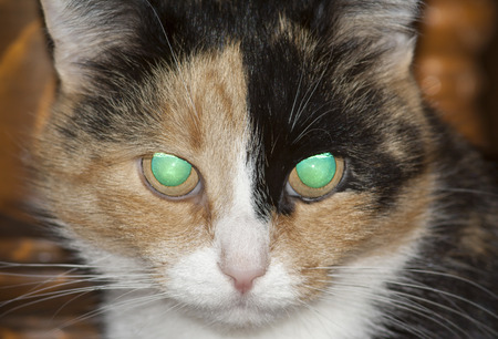 glowing eyes of three-colored cat