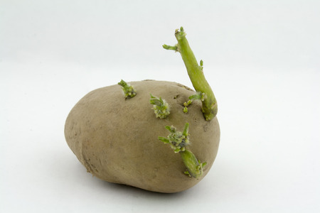 sprouted potatoes on white background Imagens