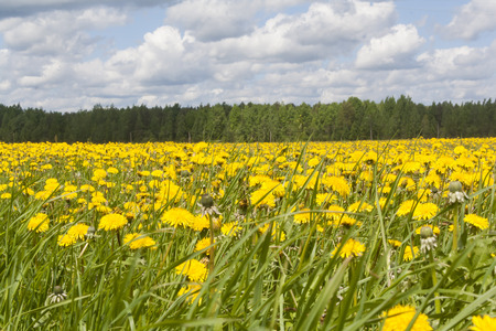 field with many flowering yellow dandelions
