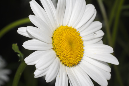 chamomile flower: flower of camomile extreme closeup Stock Photo