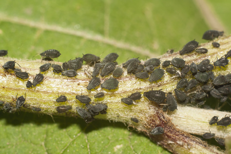 lots of black aphid on stem closeup Stock Photo
