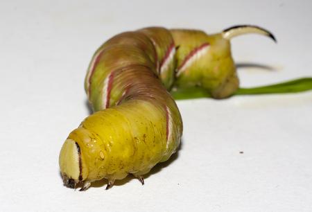 caterpillar of sphinx ligustri on white background Stock Photo