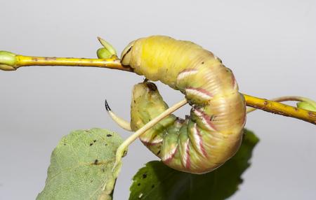 caterpillar of sphinx ligustri on green leaf